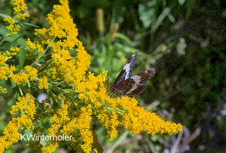 Goldenrod Visitor