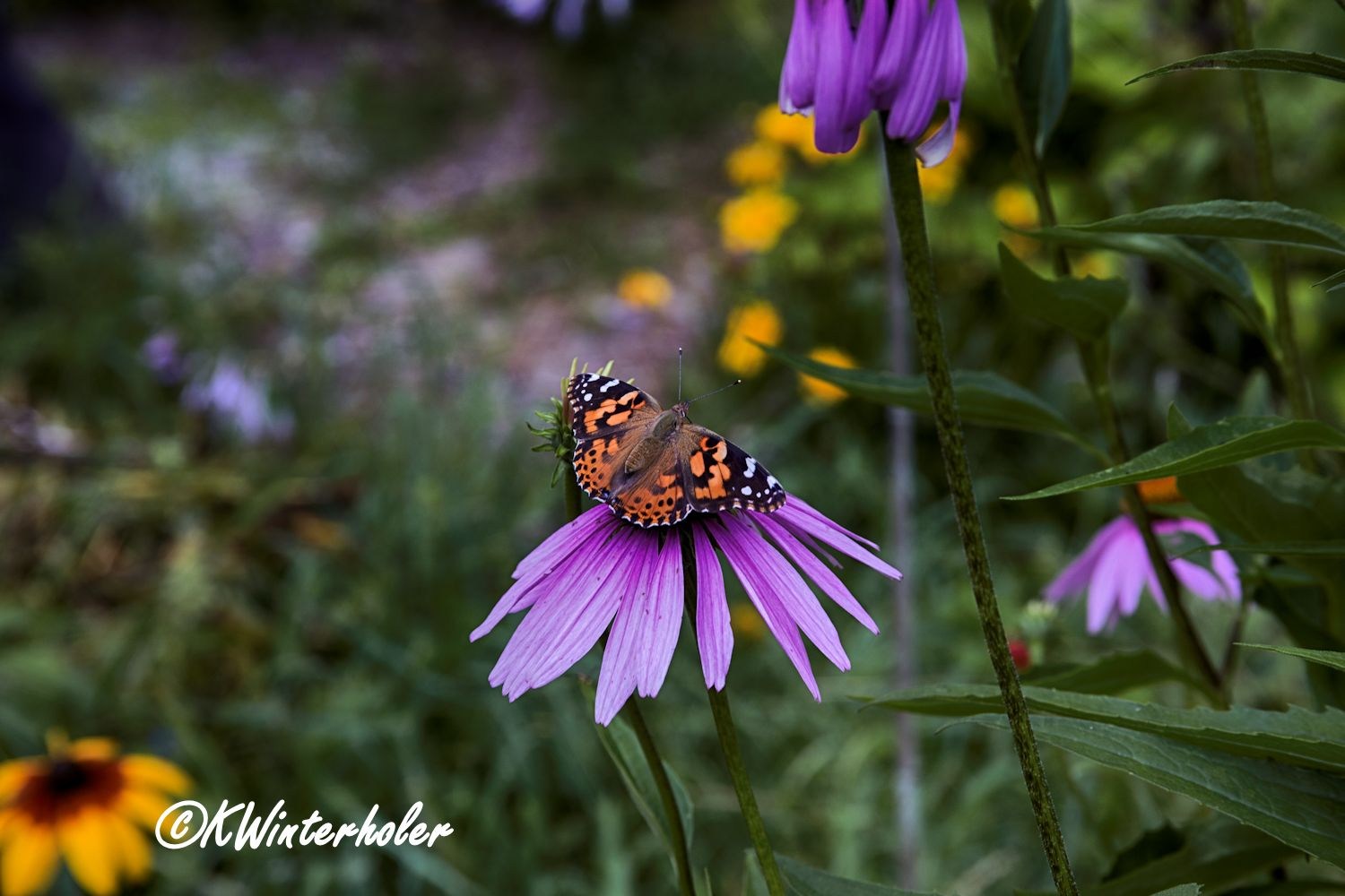 Frittilary on Coneflower